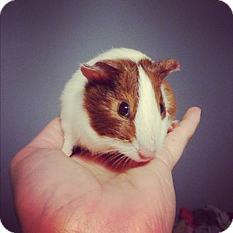 Guinea Pig for adoption in Pittsburgh, Pennsylvania - Joy