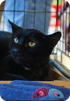Domestic Shorthair Cat for adoption in Merrifield, Virginia - Dusk