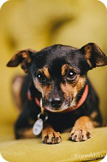 Chihuahua Mix Dog for adoption in Portland, Oregon - Logan