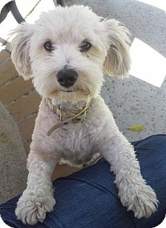 Adult Maltese Poodle Mix