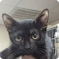Adopt A Pet :: Bedazzle - St. Petersburg, FL