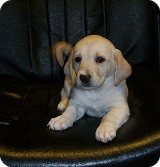 Greenville, RI - Dachshund/Labrador Retriever Mix. Meet Lola a Puppy ...