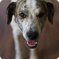 Adopt A Pet :: Presley - Sacramento, CA