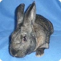 Adopt A Pet :: Blackbeard - Woburn, MA