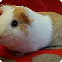 Guinea Pig for adoption in Steger, Illinois - Gordon
