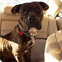 Adopt A Pet :: Boss - Lawrenceville, GA