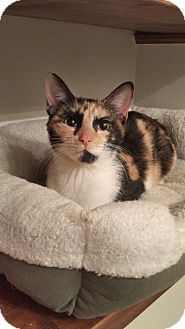 Calico Cat for adoption in Hoffman Estates, Illinois - Florida