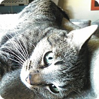 Domestic Shorthair Cat for adoption in Scottsdale, Arizona - Henry Declan - foster?