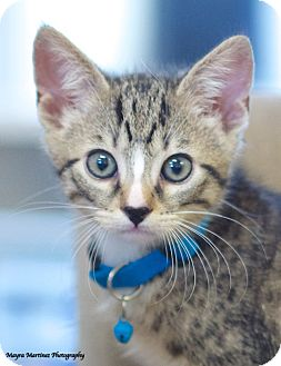 Domestic Shorthair Kitten for adoption in Homewood, Alabama - Monte