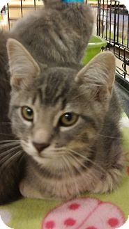 Domestic Shorthair Kitten for adoption in Warrenton, Missouri - Bishop