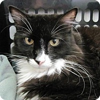 Domestic Longhair Cat for adoption in Cumberland, Maine - Spencer