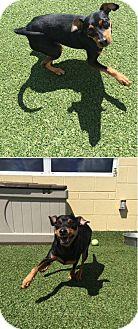 Miniature Pinscher Mix Dog for adoption in sugar land, Texas - Jaxon