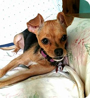 Miniature Pinscher/Chihuahua Mix Dog for adoption in Ruskin, Florida - Tinka
