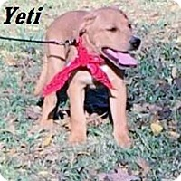 Adopt A Pet :: Yeti meet me 11/11 - Manchester, CT