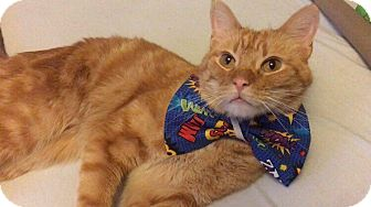 Domestic Shorthair Cat for adoption in Chicago, Illinois - Carmel