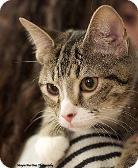 Domestic Shorthair Kitten for adoption in Huntsville, Alabama - Arrow