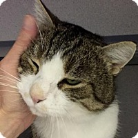 Domestic Shorthair Cat for adoption in Fort Collins, Colorado - Herbie the Lovebug