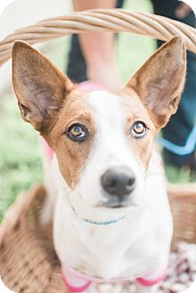 Basenji/Jack Russell Terrier Mix Dog for adoption in Brownsville, Texas - Pollyanna