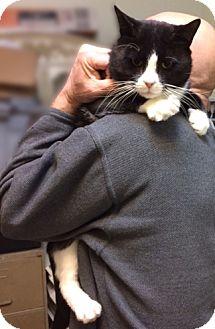 Domestic Shorthair Cat for adoption in Brooklyn, New York - Mucho Pluto: Adorable Loving Tuxedo!