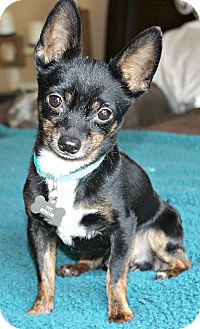 Chihuahua Dog for adoption in Temecula, California - Tyco 4 1/2 lbs