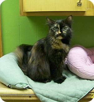 Domestic Longhair Cat for adoption in Dover, Ohio - Fiona
