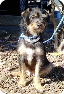 Terrier (Unknown Type, Small) Mix Dog for adoption in Los Angeles, California - TORTILLA