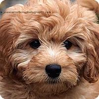 Adopt A Pet :: *Olivia - PENDING - Westport, CT