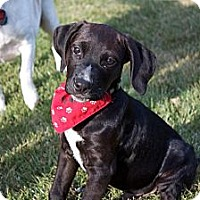 Adopt A Pet :: Baby Oliver - Marlton, NJ