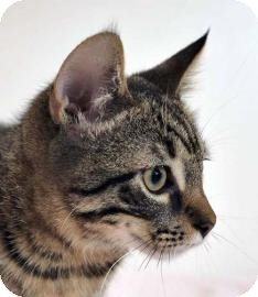 Manx Kitten for adoption in Austin, Texas - Ellsworth