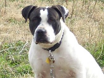 American Bulldog Mix Dog for adoption in Grand Prairie, Texas - Autum
