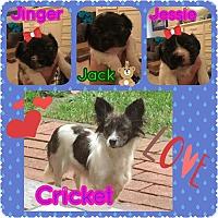Adopt A Pet :: Crickets Litter - Santa Rosa, CA