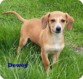 Dachshund Mix Dog for adoption in Santa Rosa, California - Dewey