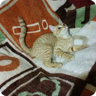 Domestic Shorthair Cat for adoption in Essington, Pennsylvania - Captain