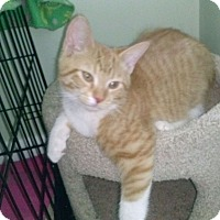 Adopt A Pet :: Bootsie - Warren, MI