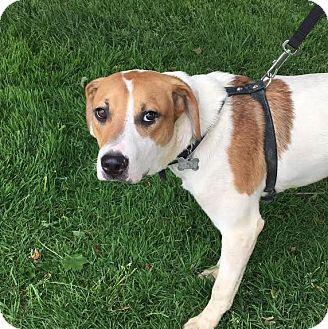 Shepherd (Unknown Type)/Retriever (Unknown Type) Mix Puppy for adoption in Detroit, Michigan - Rhett