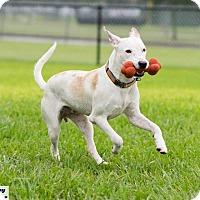 Adopt A Pet :: Sawyer - Vancouver, BC