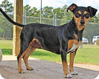 Dachshund/Miniature Pinscher Mix Dog for adoption in Savannah, Tennessee - Xandora