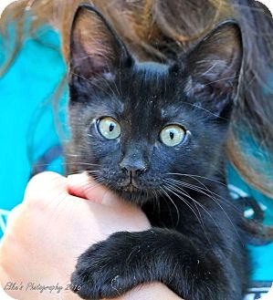 Domestic Shorthair Kitten for adoption in Rocklin, California - Squib