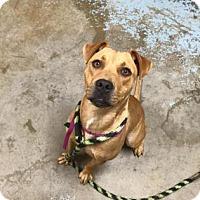Adopt A Pet :: Little Suzie (foster care) - Philadelphia, PA