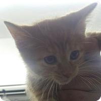 Domestic Shorthair Kitten for adoption in Paducah, Kentucky - Luke