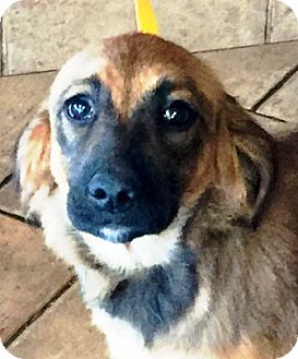 German Shepherd Dog/Golden Retriever Mix Puppy for adoption in Oswego, Illinois - I'M ADOPTED Jelli Belli