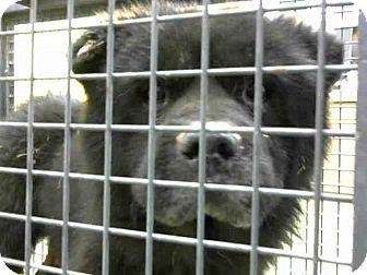 Chow Chow Mix Dog for adoption in San Bernardino, California - URGENT on 10/16 @DEVORE