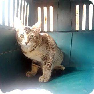 Domestic Shorthair Kitten for adoption in Mississauga, Ontario, Ontario - Chase