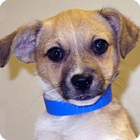 Border Terrier Mix Puppy for adoption in Wildomar, California - Scamp