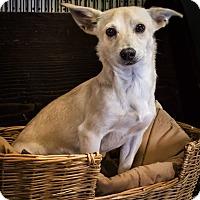 Adopt A Pet :: Denver - Yelm, WA