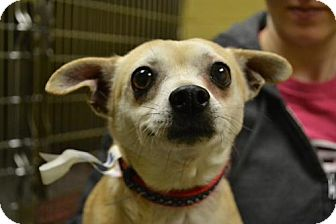 Chihuahua Dog for adoption in Akron, Ohio - Babe and Francisco *Bonded Pair