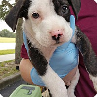 Adopt A Pet :: Austin - Royal Palm Beach, FL
