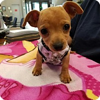 Chihuahua Puppy for adoption in Fullerton, California - Lexi