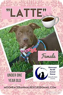 Pit Bull Terrier/Hound (Unknown Type) Mix Puppy for adoption in Holmes Beach, Florida - Latte