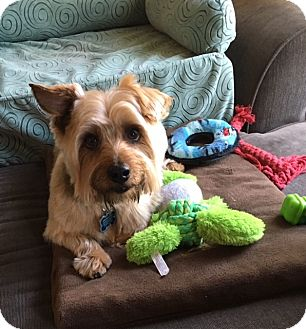 Silky Terrier/Yorkie, Yorkshire Terrier Mix Dog for adoption in Downers Grove, Illinois - Beau